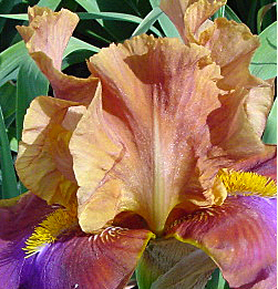 A beautiful iris in peach, purple and rust colors grown by my mother.