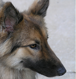 Layla is all grown up now and is a beautiful Shepherd Wolf dog.