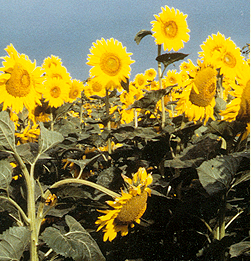 Photo of a field of sunflowers close-up.